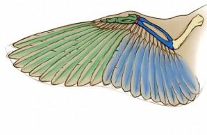 Bird biomechanics