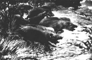 Extinct Peccaries