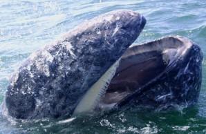 Gray whale gullett