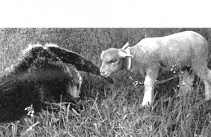 anteater and lamb