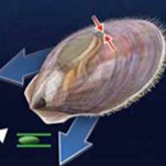 Scallop Using Jet Propulsion