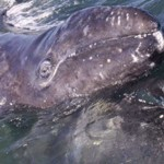 baby gray whale on top of mother